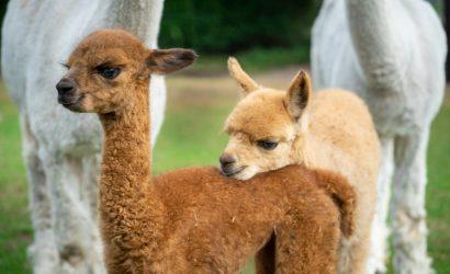 alpaca boerderij glamping origineel overnachten