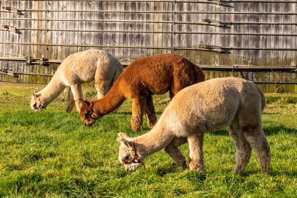 alpaca boerderij glamping origineel overnachten (4)