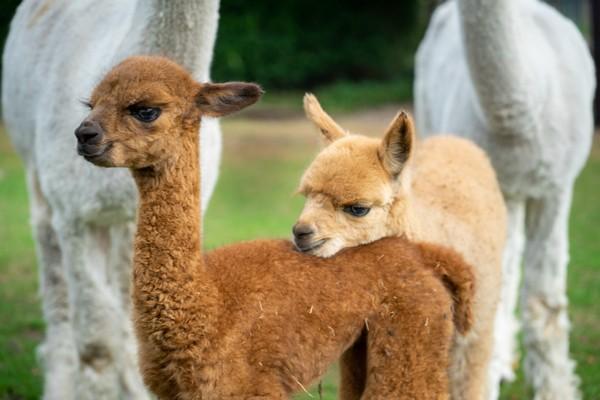 vakantie alpaca boerderij nederland